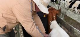 Vacinação contra febre aftosa no rebanho gaúcho começa em maio