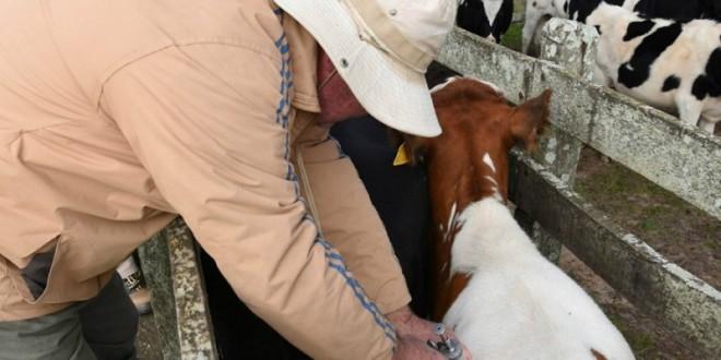 Secretaria da Agricultura suspende multa para quem perdeu prazo de vacinação contra febre aftosa