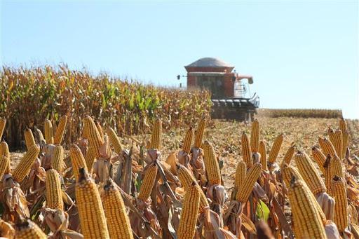 Colheita do milho atinge 77% da área cultivada no RS